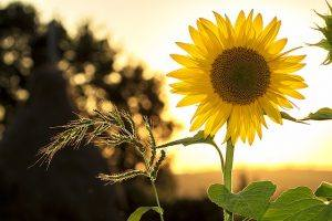 photo sunflower free psychic readings